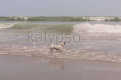 Parson Russell Terrier Runs, Jumps And Plays (kalypsoworldphotography) Tags: ocean morning blue sea dog pet white motion beach water look smart animal female train jack fun happy athletic sand russell play looking pacific action outdoor body horizon wave galapagos size terrier agility medium curious behavior playful jackrussellterrier parson active obsessive feisty stubborn courageous tenacious agile purebred assertive