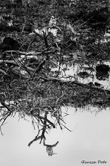 Kingfisher (ceryle rudis) @ Chobe (Zsuzsa Por) Tags: africa animal wildlife botswana chobe animalplanet wildlifeafrica canonistas canoneos7d canonef70200mmf28lisusmii canonextender14xiii