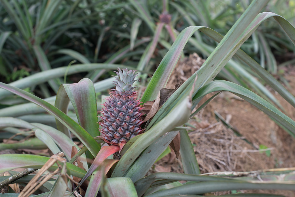 Pineapples growing by the road
