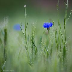 Cornflower (Thomas Frejek) Tags: de deutschland herford nordrheinwestfalen cornflower kornblume 2015 centaureacyanus entlangderwerre