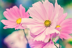 http://www.redbubble.com/portfolio/images/14890203-pink-flowers/edit (Dóra B.) Tags: life summer flower colour nature garden outside outdoors nice pretty earth dorabirgis