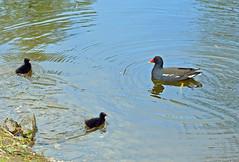 DSC_0185 copia (giuli.flaccomio) Tags: park parco lake chicks dusseldorf düsseldorf vogel gallinelladacqua küken pulcini gallinella