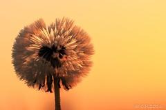 Pusteblume (Re Ca) Tags: nordsee norddeutschland pusteblume lwenzahn blume blmchen goldenestunde goldenhour sunrise sonnenaufgang harlesiel sigma105mm eos70d