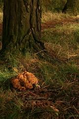 Cauliflower Fungus (Derbyshire Harrier) Tags: cauliflowerfungus 2016 pine woodland easternmoors derbyshire peakdistrict peakpark fungus autumn rspb nationaltrust sparassiscripsa
