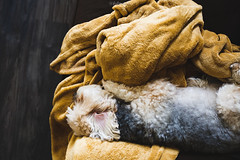 Up late last night partyin'. He'll probably wake up at 4 pm. (fobmanila) Tags: vsco canon teamcanon canonusa puppy dog maltese yorkie morkie animal pet vscocam