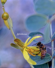Golden Touch (haidarism (Ahmed Alhaidari)) Tags: gold midas bee animal bug insect yellow flower bud plant bokeh outdoor nature depthoffield sonya65 macro macrophotography green leaf ngc golden