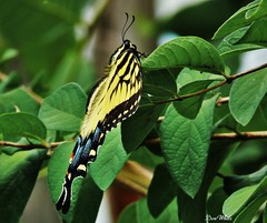 eastern tiger (don.white55 Thanks a million..) Tags: easterntigerswallowtailpapilloglaucus wildwoodlake wildwoodpark harrisburgpennsylvania donwhite donpwhitephotography thatswildnaturephotography canone0s7od canoneos70dtamronsp150600mmf563divcusda011 animal insect butterfly sideview profile wildlife nature pennsylvaniawildlife harrisburgwildlife