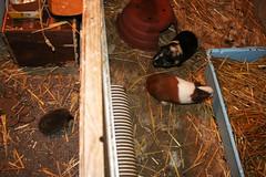 Flynn, Titi et le hérisson (Mariie76) Tags: animaux cochons dinde rongeurs cobayes noir beige roux blanc paille extérieur enclos copain jeune hérisson piquant erinaceus europaeus drôle insolite
