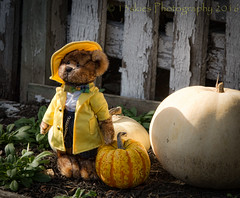 Checking on things outside (HTBT) (13skies) Tags: happyteddybeartuesday fence pumpkins gourds yellow raincoat weather watching garden warnings helping forecast prediction sony sonyalpha99 morning sky teddybears bears
