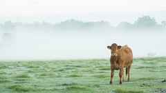 20161010-04_Cow_Morning Mists_Little Lawford Rugby (gary.hadden) Tags: rugby warwickshire littellawford kingsnewnham middleengland landscape dawn sunrise mist softlight goldenhour cow cattle bullock cows