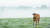 20161010-04_Cow_Morning Mists_Little Lawford Rugby (gary.hadden) Tags: rugby warwickshire littellawford kingsnewnham middleengland landscape dawn sunrise mist softlight goldenhour cow cattle bullock cows