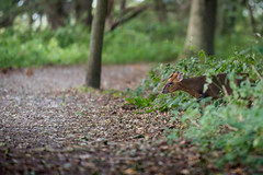 Muntjac Deer (Natural Photography by CJH) Tags: muntjac deer muntjacdeer forest woods wild hide run natural wildlife nature nikon d750 telephoto 300mm pf f4 300mmf4 300f4 nikkor teleconverter tc17eii pfedvr
