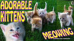 Adorable Kittens Meowing on Grass (youtube.com/utahactor) Tags: kittens videos hd 4k sony youtube cat subscribe follow like share zeus phoebe athena helios finn adonis cute ginger yellow red orange friendsofzeusandphoebe gingerkittiesfour gata gato chat chatons tabby tabbies mackerel longhair