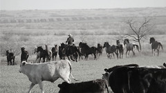Crazy Horses (It Feels Like Rain) Tags: horse horses crazyhorse mare mares bandofmares yearlings cows cattle caballo equine cow cowboy westtexas texas texasranches ranch ranching ranches