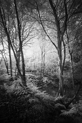 Mousehold Heath 23/10/15 (Matthew Dartford) Tags: infraredphotography bw eastanglia blackandwhite blickling creepy forest grass grasses happisburgh infrared ir landscape lowkey mono monochrome norfolk path pathway sidelight tree trees trunk wide wideangle woodland