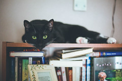 lord of the books (KieraJo) Tags: 50mm 14 canonef50mmf14usm canon 5d mark 3 iii 5d3 fullframe dslr bokeh cat cute funny black tuxedo green eyes books bookshelf resting reading