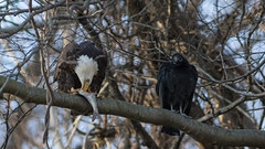 """""""Bet He's Not Willing to Share"""" (Ken Krach Photography) Tags: eagle vulture maryland"""