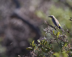 Yellow-rumped Warbler (Tom Clifton) Tags: pointlobos termitehatch birding