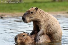Kangaroo Creek Farm-24 (Lisa2.0) Tags: vernon vacation summer july2016 kangaroocreekfarm bc capybara