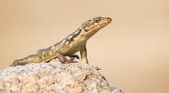 Karoo Girdled Lizard (Cordylus polyzonus) (George Wilkinson) Tags: cordyluspolyzonus karoo girdled lizard goegap nature reserve northern cape south africa ngc
