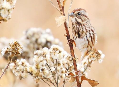 song sparrow at Decorah Fish Hatchery IA 854A6568