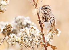 song sparrow at Decorah Fish Hatchery IA 854A6568 (lreis_naturalist) Tags: song sparrow decorah fish hatchery winneshiek county iowa larry reis