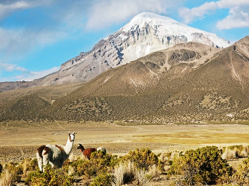 Llamas in Sajama National Park - Bolivia