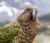 Kea (Andrés Guerrero) Tags: bird fiordland fiordlandnationalpark fiordodemilford kea loro milford milfordsound naturaleza nature newzealand nuevazelanda oceanía parquenacionaldefiordland parrott revelar southland nz