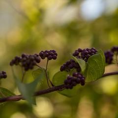 Purple berries (Gisou68Fr) Tags: macro macromondays issai backlight callicarpa callicarpadichotoma callicarpadichotomaissai canoneos650d efs60mmf28macrousm