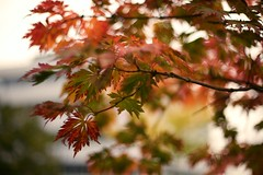 (kuestenkind) Tags: herbst autumn fall bltter baum bokeh kiel canon 50mm 14