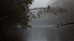 Misty River Aire, Leeds (hope2029) Tags: river aire misty darkness trees heron silhouette leeds west yorkshire