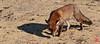Z'auriez pas vu le lapin ce matin ? (mamnic47 - Over 6 millions views.Thks!) Tags: parcdeschanteraines hautsdeseine gennevilliers renard renardroux 28112016 réserveornithologique sigma150600mm img5875