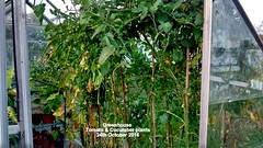 Greenhouse - Tomato & Cucumber plants 24th October 2016 (D@viD_2.011) Tags: greenhouse tomato cucumber plants 24th october 2016