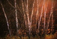 Autumns last hurrah (BreezyWinter) Tags: autumn light woods foliage plants trees minnesota park november birch walk painting