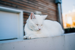 immacul (Roxo15) Tags: 2016 appareilphoto bokeh rx1r sonyrx1r vsco animaux cat chat sony