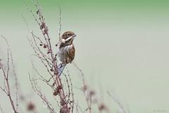 Reed bunting  (Shane Jones) Tags: reedbunting bunting bird nature wildlife nikon d500 200400vr tc14eii
