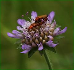 Soldier Beetles on Scabious II (glostopcat) Tags: soldierbeetles beetles insects invertebrates glos prestburyhillnaturereserve fieldscabious wildflower summer