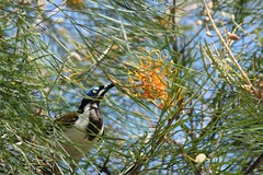 eating honey (Gillian Everett) Tags: bluefaced honeyeater grevillea queensland