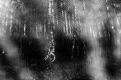 spiderman (pat.netwalk) Tags: web spider forest dark myst scary spiderman copyrightpatrickfrank monochrome