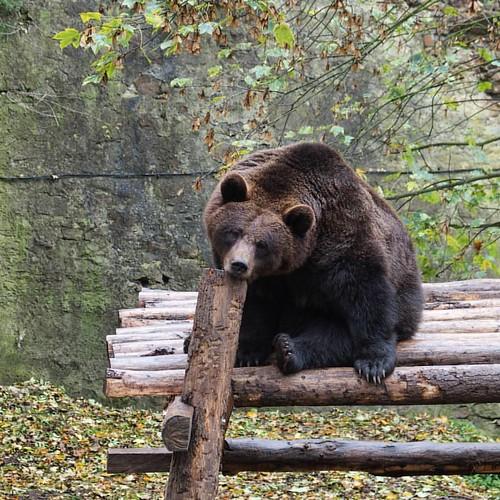 That's how my Monday is going so far. ••• #mondaymotivation #mondayblues #bear #brownbear #animalphotography #animalgram #details #bohemianstyle #bohemia #czechrepublic #ig_czech #fall🍁 #fallwalks #sunnyafternoon #točník #still #destinationsunk