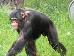 Pan troglodytes --  Chimpanzee 1209 (Tangled Bank) Tags: japan japanese asia asian asahiyama zoo zoological gardens hokkaido animal pan troglodytes chimpanzees 1212 ape primate