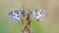 Dambordje - Marbled White (wimzilver) Tags: germany eifel duitsland butterfly vlinder canonef100mmf28lmacroisusm canoneos5dmarkiii