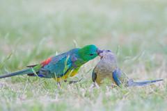 Love   (satochappy) Tags: redrumpedparrot parrot bird australia sydney grassparrot love