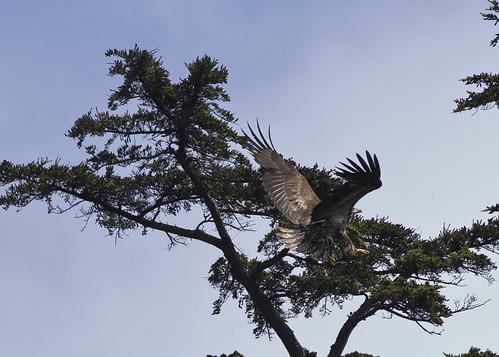 Juv Bald Eagle landing
