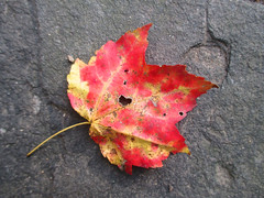 IMG_8821_RCP_Red&Yellow_Leaf (Stephenie DeKouadio) Tags: canon photography outdoor rockcreekpark washington washingtondc dc dcphotos nature autumn beauty leaf red
