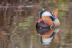 Mandarinente (Aix galericulata) (Matthias.Kahrs) Tags: mandarinente aix galericulata mandarin duck vgel vogel ente entenvgel bird birds tier natur outdoor wildlife tiefenschrfe schrfentiefe canon 5d canoneos5dmarkiii canon5dmarkiii tamron 150600mm tamronsp150600mmf563divcusd tamron150600mm matthias kahrs