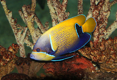 Majestic Angelfish (Ger Bosma) Tags: 2mg190872filtered droomkeizersvis pomacanthusnavarchus bluegirdledangelfish majesticangelfish majesticangel blaugrtelkaiserfisch traumkaiserfisch euxipiphopsnavarchus keizersvis keizervis tropical fish colourful indianocean pacificocean angelfish