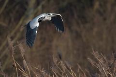 Graureiher 039 (bertheeb) Tags: graureiher reiher wasservogel