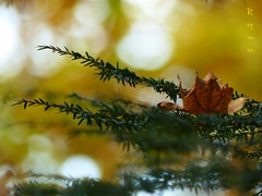 natural autumn ornament (Ryuu) Tags: autumn leaf xmastree tree conifer branches green twigs dryleaf fallenleaves fallen foliage momiji thefall yellow leaves bokeh macro closeup focus fz200 dof nature composition