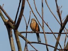 Meadow bunting (ホオジロ) (Greg Peterson in Japan) Tags: shigaprefecture japan jpn moriyama otherbirds shiga fall rivers wildlife yasugawa birds season